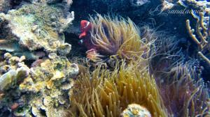 Clown Fish di Utara Pulau